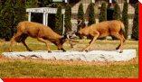 Dueling Deers - Serpent River